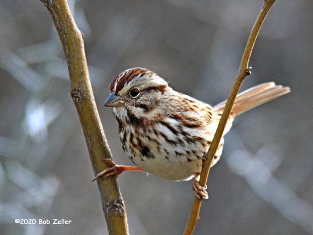 1Y7A3398-net-sparrow-song-bob-zeller