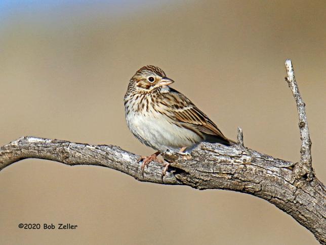 1Y7A4025-net-sparrow-vesper-bob-zeller