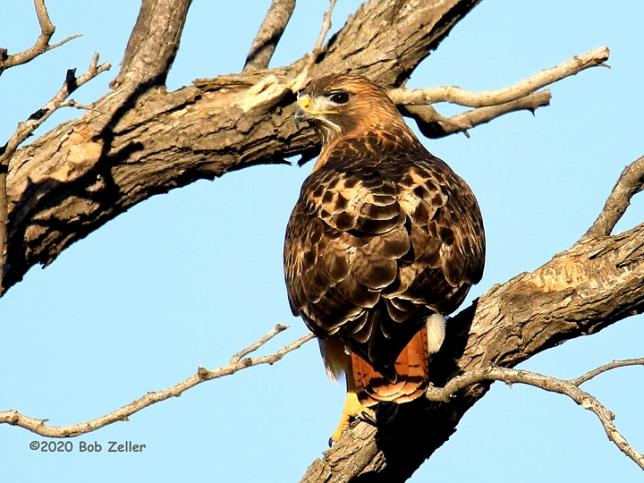 1Y7A4044-net-hawk-red-tailed-bob-zeller