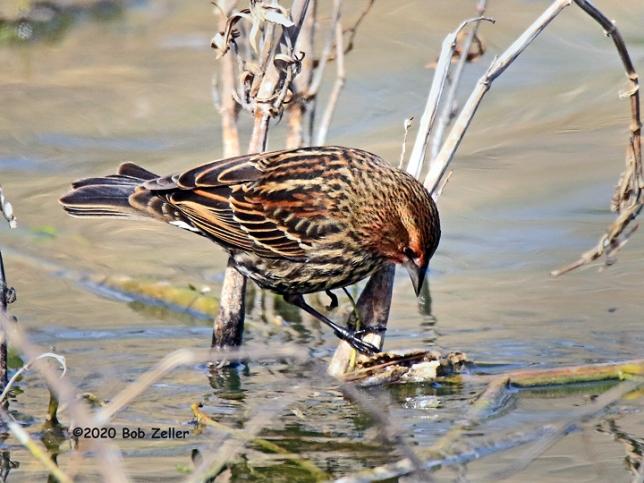 1Y7A4127-net-blackbird-redwing-bob-zeller