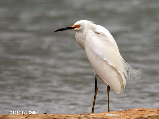 1Y7A4230-net-egret-snowy-bob-zeller
