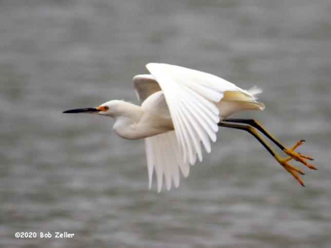 1Y7A4259-net-egret-snowy-bob-zeller