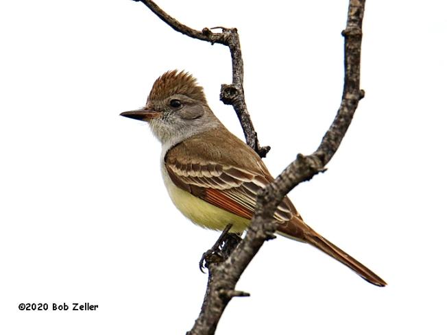 1Y7A5113-net-flycatcher-ash-throated-bob-zeller